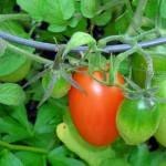 plum tomatoes in Buffalo NY area