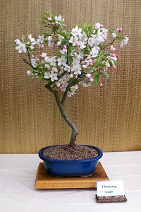 Wendy Williams' flowering crabapple bonsai. Photo from Buffalo Bonsai Society.