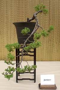 Bob Maxwell's juniper cascade bonsai. Photo from Buffalo Bonsai Society.