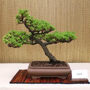 Dan Trzepacz's larch bonsai. Photo from Buffalo Bonsai Society.