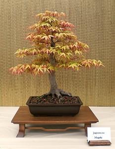 Dan Zak's Japanese maple bonsai. Photo from Buffalo Bonsai Society.