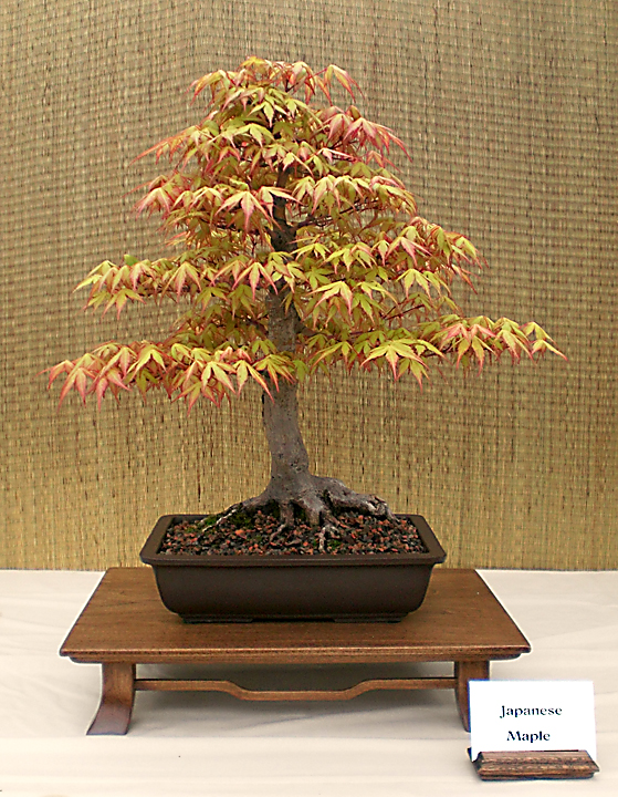 Dan Zak's Japanese maple bonsai. Photo from Buffalo Bonsai Society.