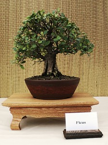 Hank Miller's ficus bonsai. Photo from Buffalo Bonsai Society.