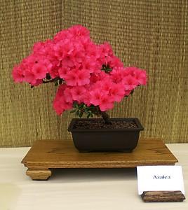 Vince Philippone's azalea bonsai. Photo from Buffalo Bonsai Society.