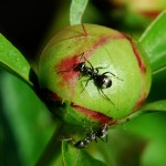 ant on peony by Donna Brok Niagara Falls NY