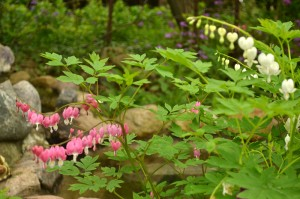 bleeding hearts in Hamburg NY