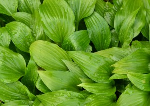 hosta leaves in Buffalo NY