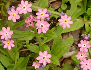 pink forget me nots in Hamburg NY