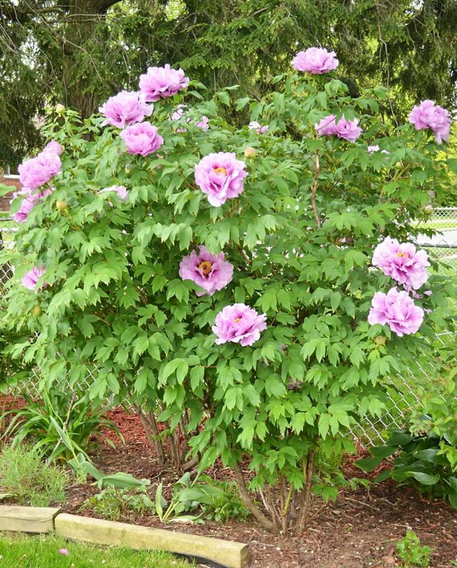 tree peony is showy element of spring garden in buffalo buffalo