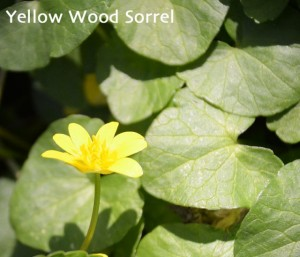 yellow wood sorrel in Lewiston NY by Donna Brok