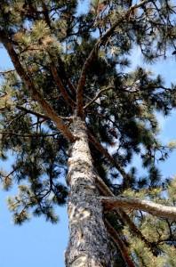 Austrian pine in Western New York by Donna Brok