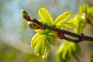 Buds on chestnut tree by Donna Brok