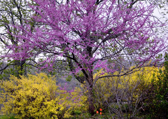 Eastern redbud in Western New York by Donna Brok