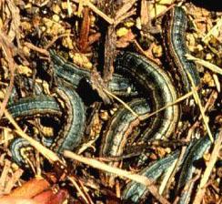 armyworms hiding in turfgrass from University of Nebraska closeup