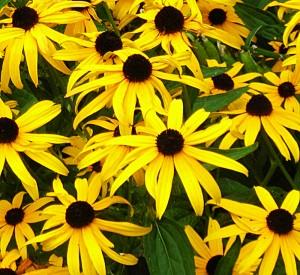 black-eyed Susans in Buffalo NY area