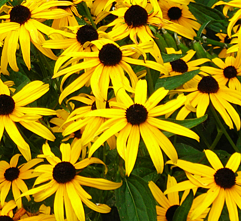black-eyed Susans in Buffalo NY area