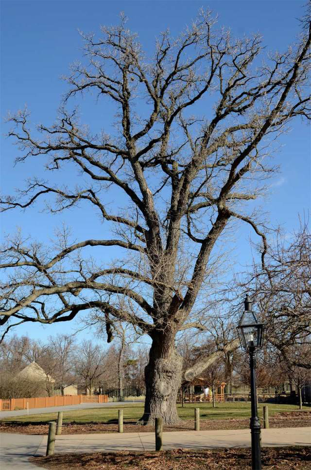 bur oak in Western New York by Donna Brok