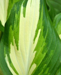 hosta leaf variegated in Buffalo NY area