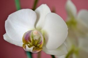 orchid in Buffalo NY