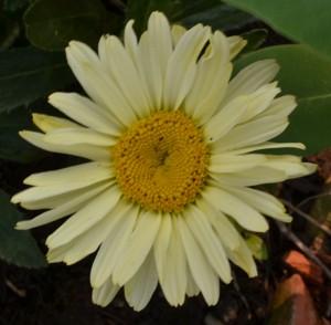 Banana Cream daisy in Tonawanda NY