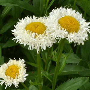 crazy daisy in Tonawanda NY
