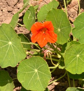 nasturtium iis edible flower n Lancaster NY