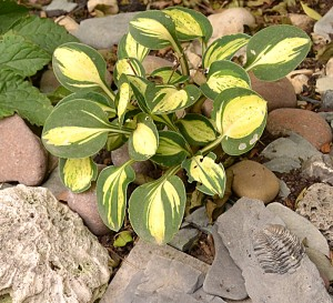 small hostas in Buffalo NY