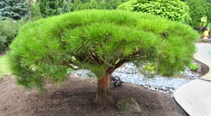tanyosho pine in Amherst NY