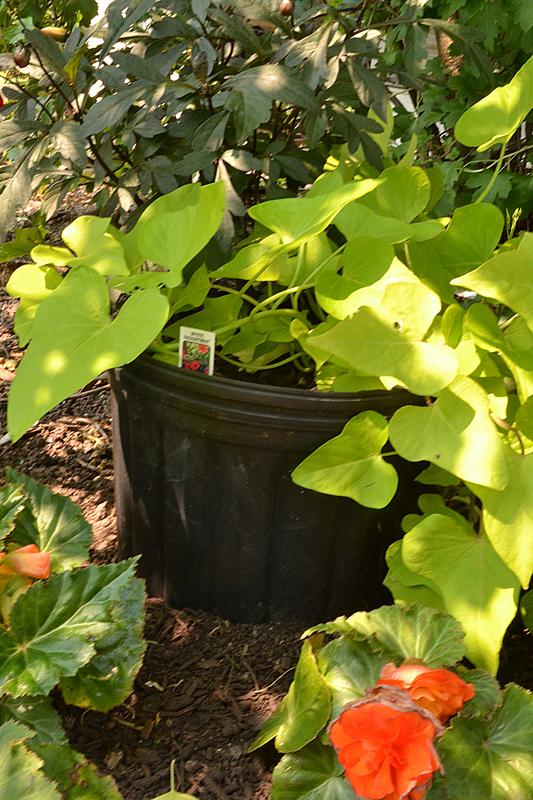 Garden Walk Buffalo Through The Garden Gates 6: New Garden Walk Debuts In West Seneca, Watering Tips