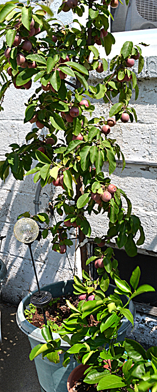 apple tree in pot with fruit in Buffalo NY