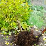 lilac transplant from gardening-enjoyed.com