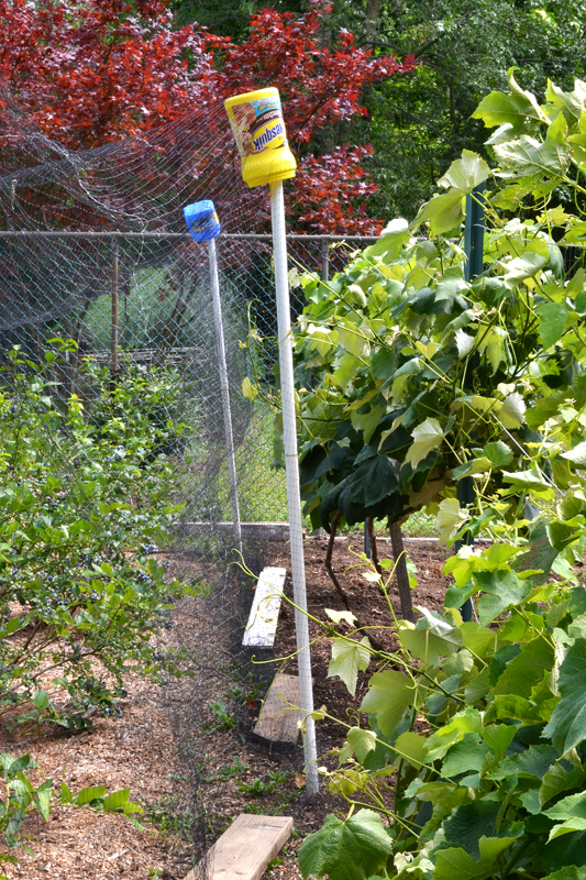 netting over berry bushes in vegetable garden Lockport NY