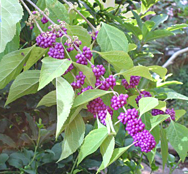 Callicarpa (Beauty Berry) from Lockwood's