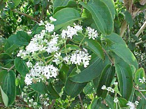 Heptacodium or Seven Sons tree from Lockwood's Greenhouses