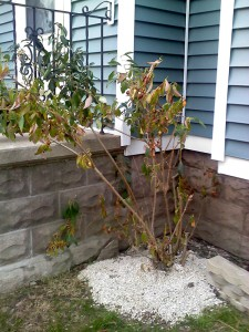 Jeanine's flowering bush not doing well in Buffalo NY area