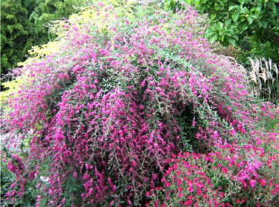 Lespedeza (a pea shrub) from Lockwood's Greenhouses
