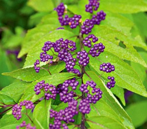 Shrub - Callicarpa dich Early Amethyst at Buffalo Botanical Gardens