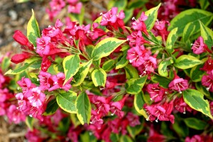 Shrub - Weigela Freanch Lace from Buffalo Botanical Gardens