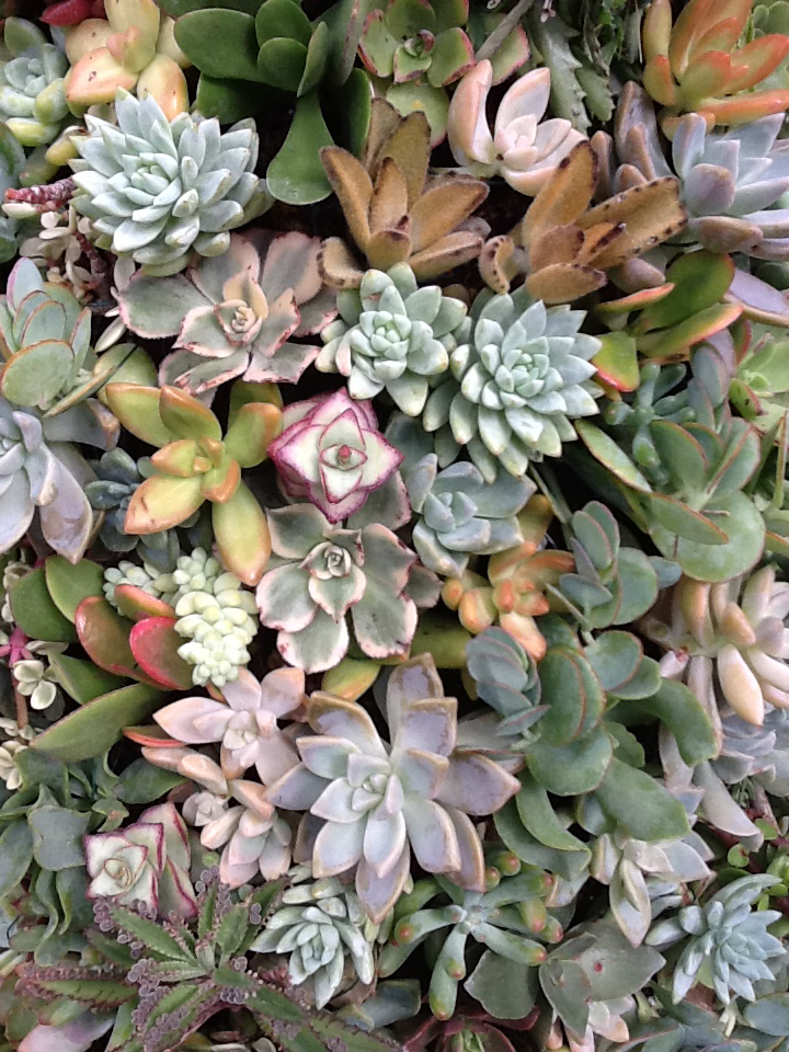 Succulents from Buffalo Erie County Botanical Gardens
