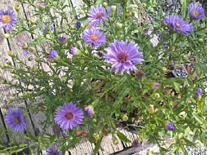 asters from Murray Bros in Orchard Park NY