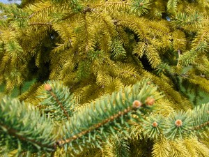closeup of yellow evergreen from Kristen Reumann
