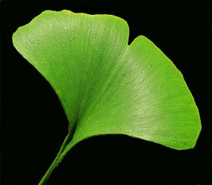 ginko leaf from Lockwood's Greenhouses
