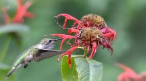 hummingbird feeding by Donna Brok
