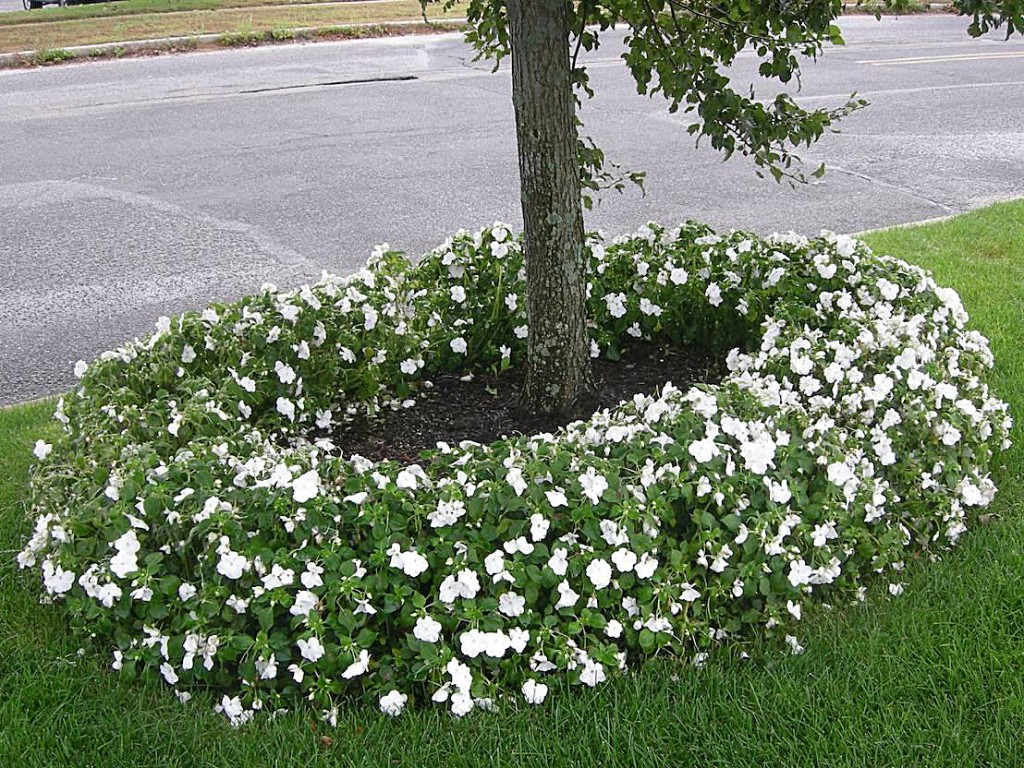 impatiens around tree before downy mildew disease Margery Daughtrey