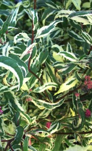 variegated Joe-Pye weed  closeup from Lockwood's