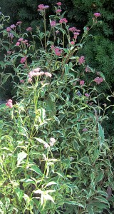 variegated Joe-Pye weed showing whole plant from Lockwood's