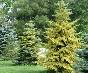 yellow evergreens from Kristen Reumann