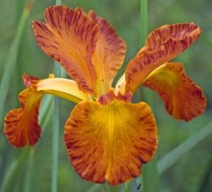 Cowboy Country from Comanche Acres Iris Garden