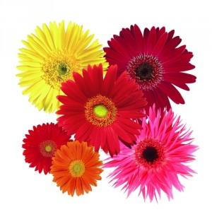 Gerbera daisies from National Garden Bureau