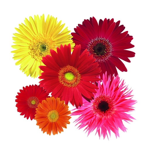 Gerbera daisies from National Garden Bureau